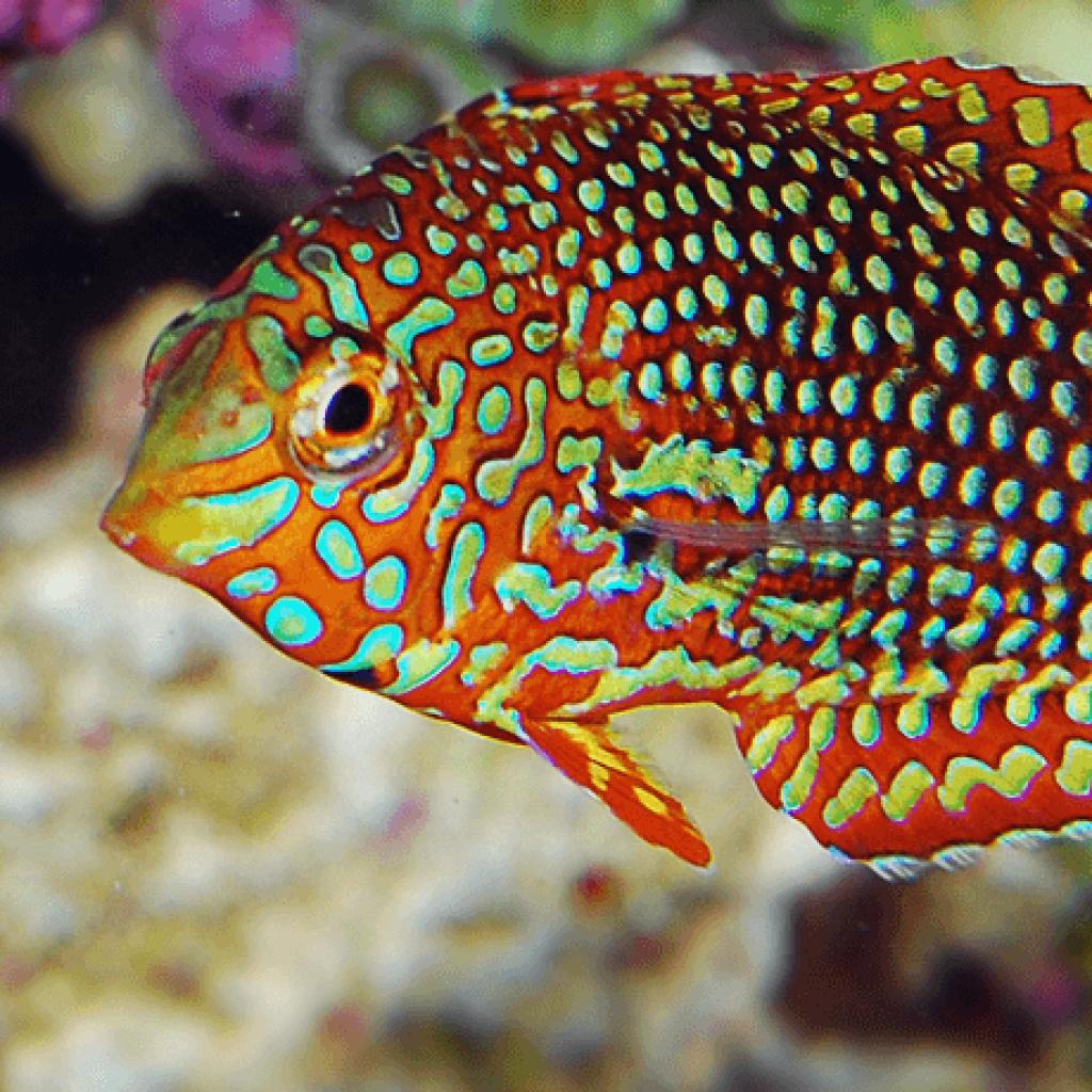 Keystone Reefscapes Leopard Fish