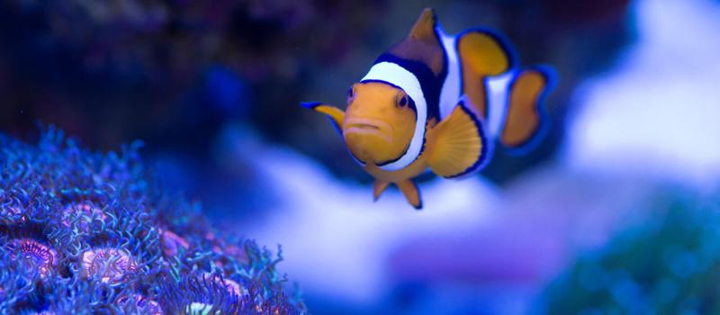Clown Fish Among Coral